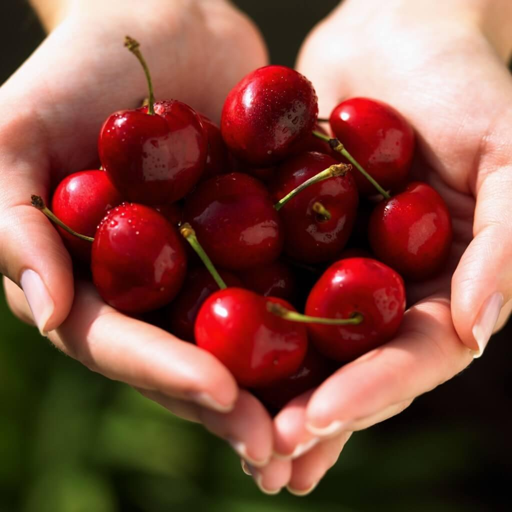 Выращивание вишни на даче: какую посадить и как ухаживать